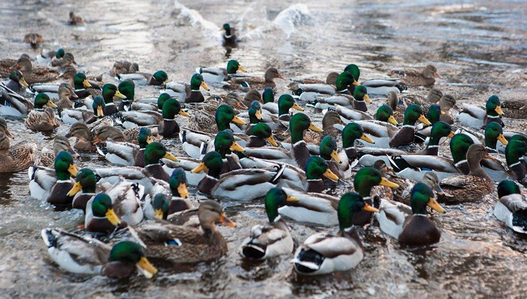Экологи раскрыли корни загадочных эпизодов массовой гибели птиц в США