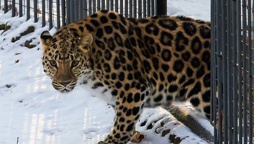 В Приморье мать пострадавшего от леопарда ребенка также получила травмы