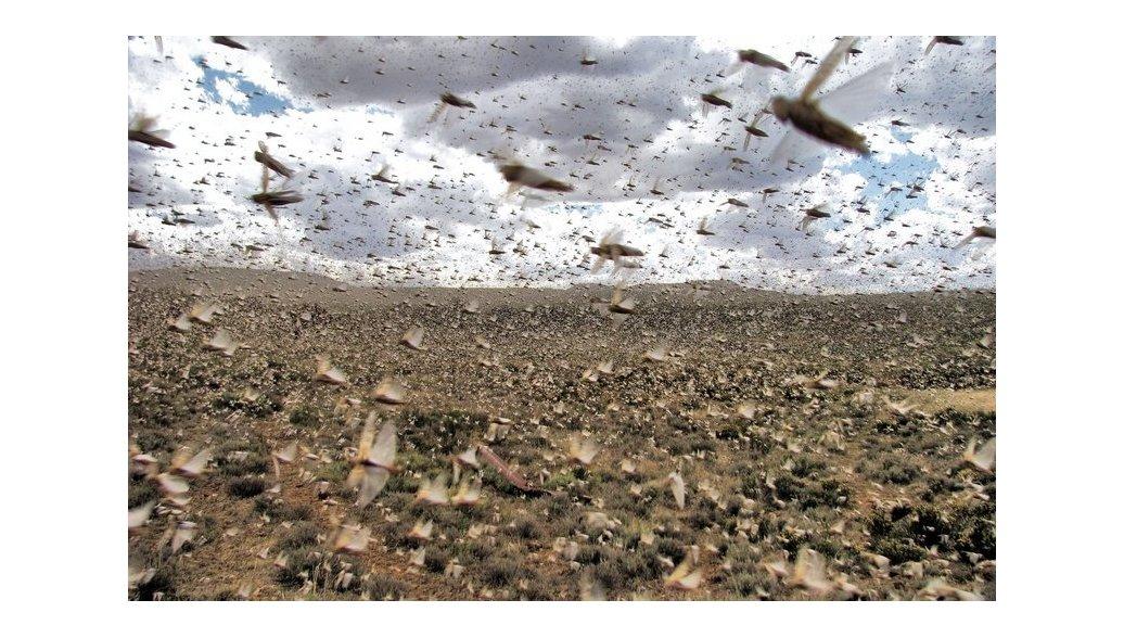 На Кубани заявили об отсутствии угрозы нашествия саранчи в 2018 году