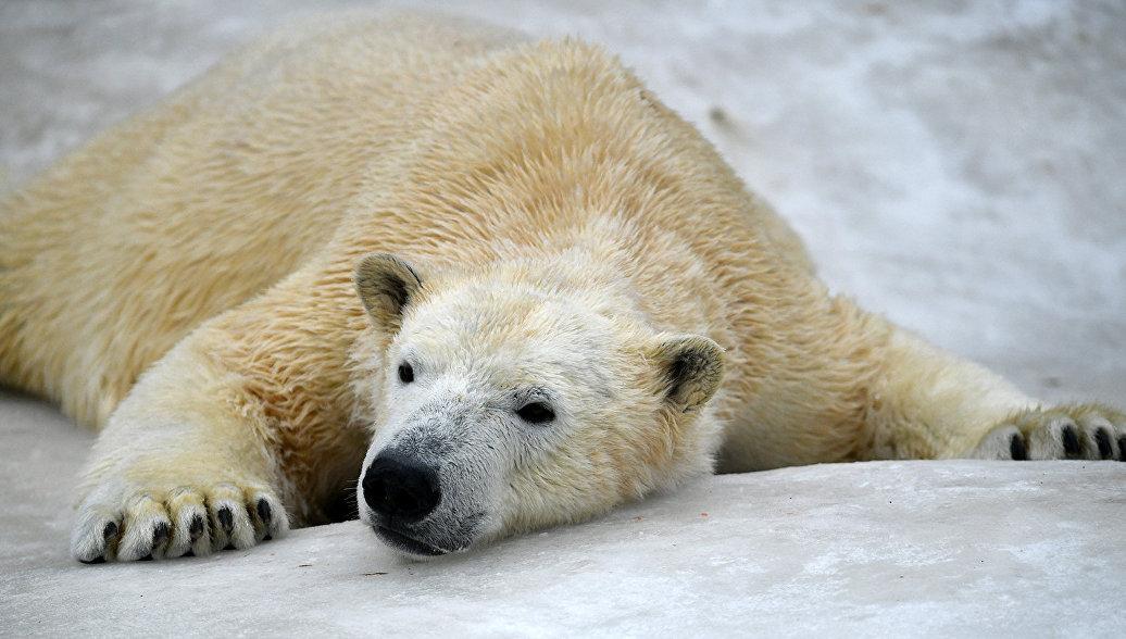 Ученый рассказал об угрозе популяции белых медведей