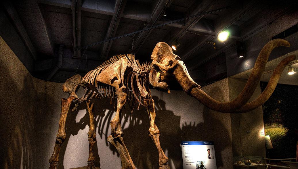 Кемеровские ученые реконструируют останки мамонта