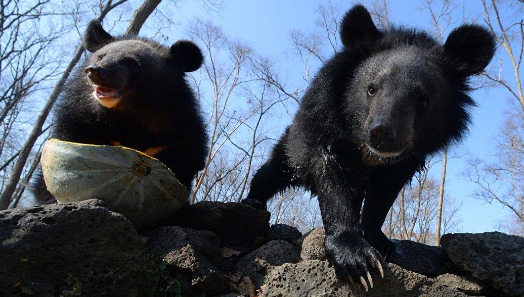 Медведица с потомством вышла к людям на Красной Поляне