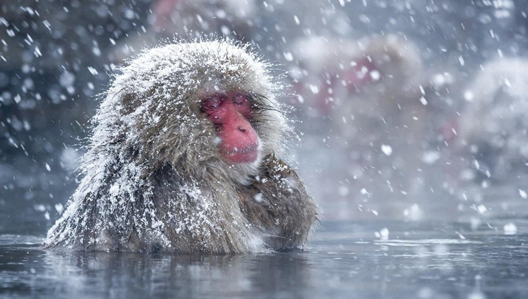 Биологи выяснили, зачем японские макаки постоянно сидят в гейзерах