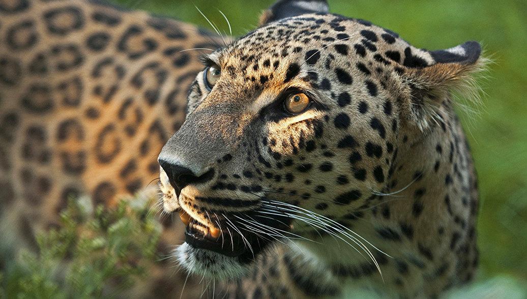 Леопарды из шведского зоопарка переедут на Кавказ