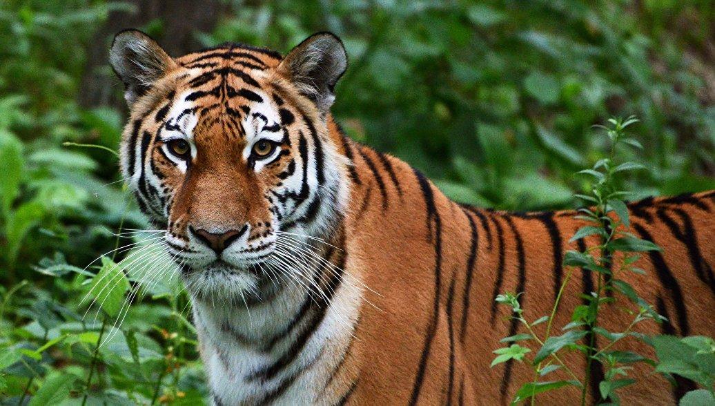 В Хабаровском крае раненая тигрица скончалась после четырех операций