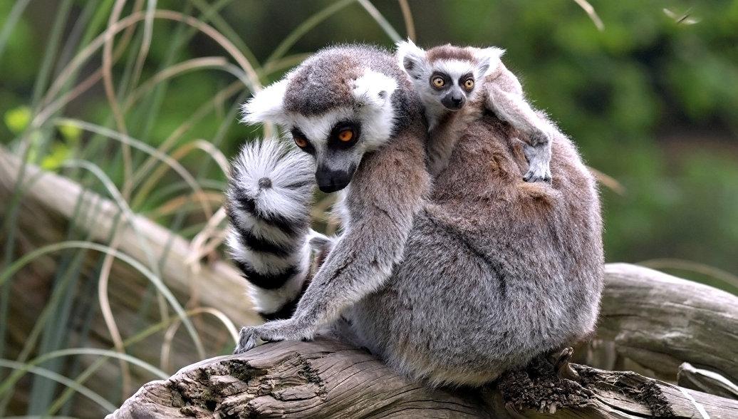 В Новосибирском зоопарке родились лемуры-близнецы