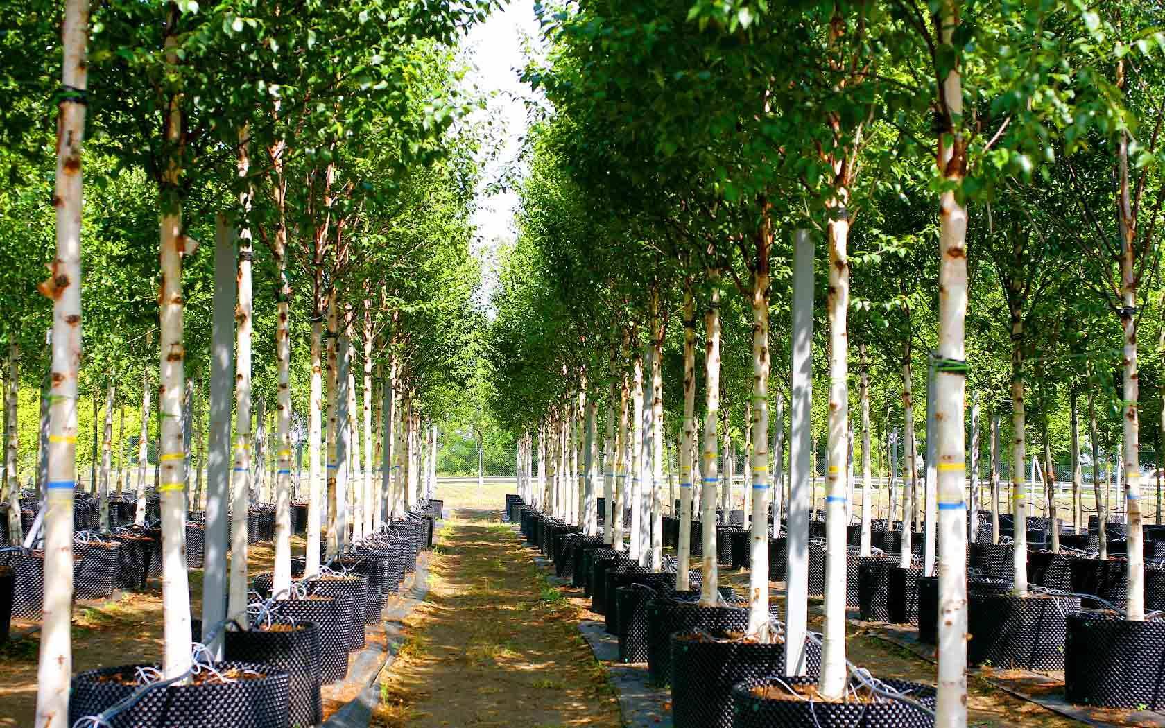Саженцы деревьев для вашего сада