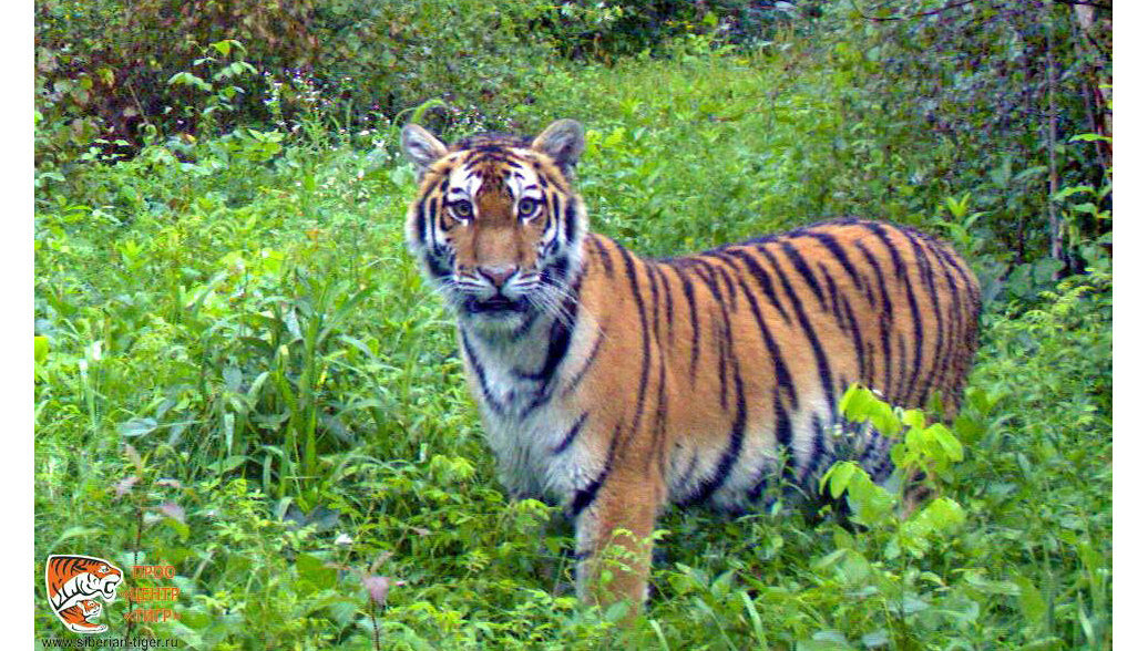 В Хабаровске пройдет международный симпозиум по охране тигра