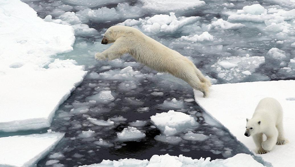 Белые медведи не вымрут из-за своей косолапости, заявляют ученые