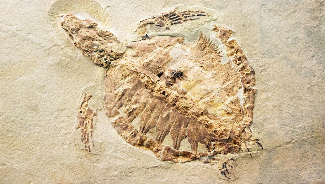 Китайский фермер нашел окаменелости черепахи Юрского периода