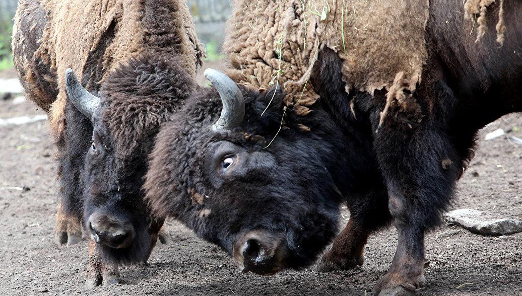 В Калужской области в дикую природу выпущено семь зубров