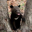 На Дальнем Востоке отобрали двух медвежат для восстановления популяции в Южной Корее