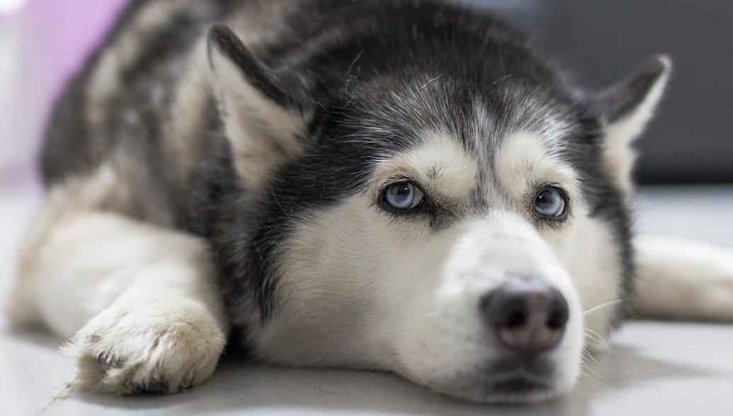 Ученые раскрыли сибирские корни вымерших собак индейцев