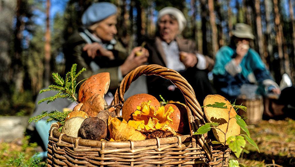 А в лесу растут грибы: как их найти и приготовить