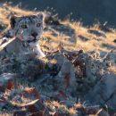 Самка снежного барса с потомством замечена на хребте Сайлюгем