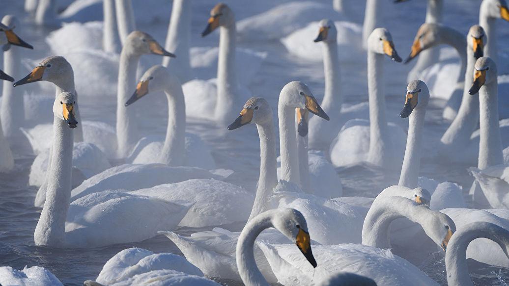 В Кроноцком заповеднике остановились на зимовку сотни лебедей-кликунов