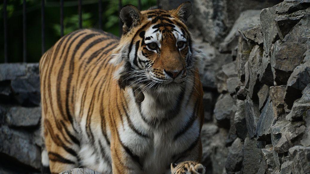Тигрица в приморском национальном парке учит детенышей